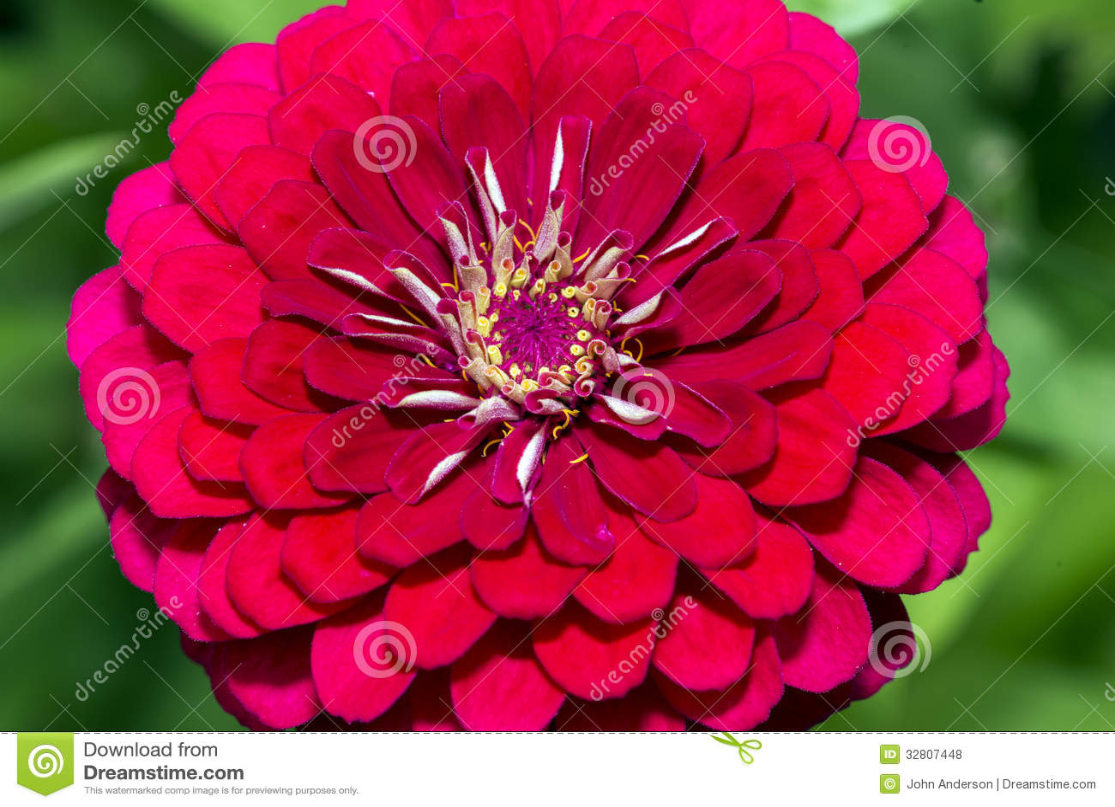 Dahlia is a genus of bushy tuberous herbaceous perennial plants