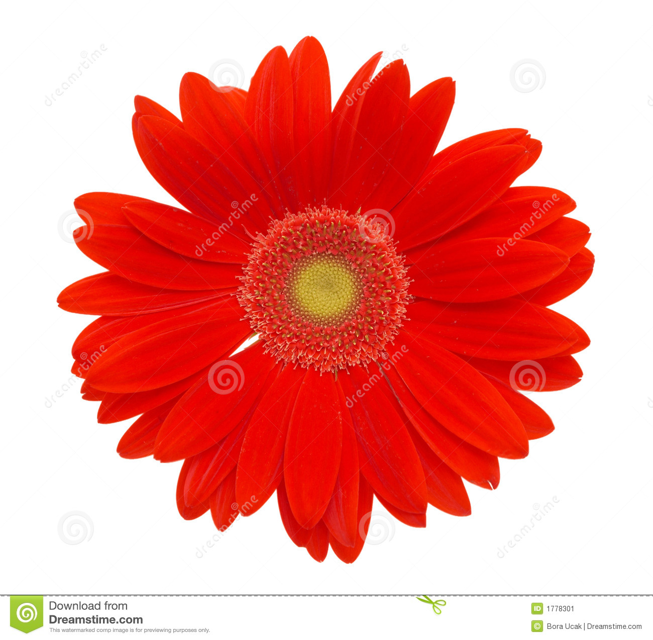 red daisy flower stock image  image, Natural flower