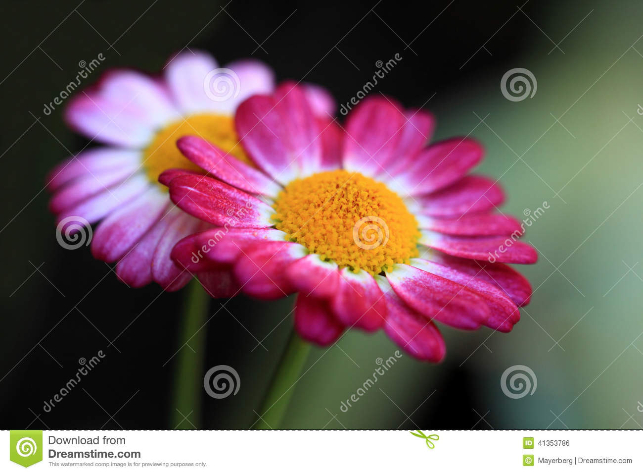 Red daisy flowers stock photo image of growth flowering 41353786 daisy flowers is in a lot of types izmirmasajfo