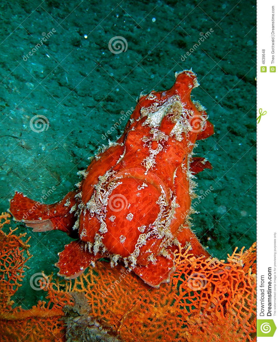 Red Dangerous Fish In The Coral Reef Stock Photo - Image of fish ...