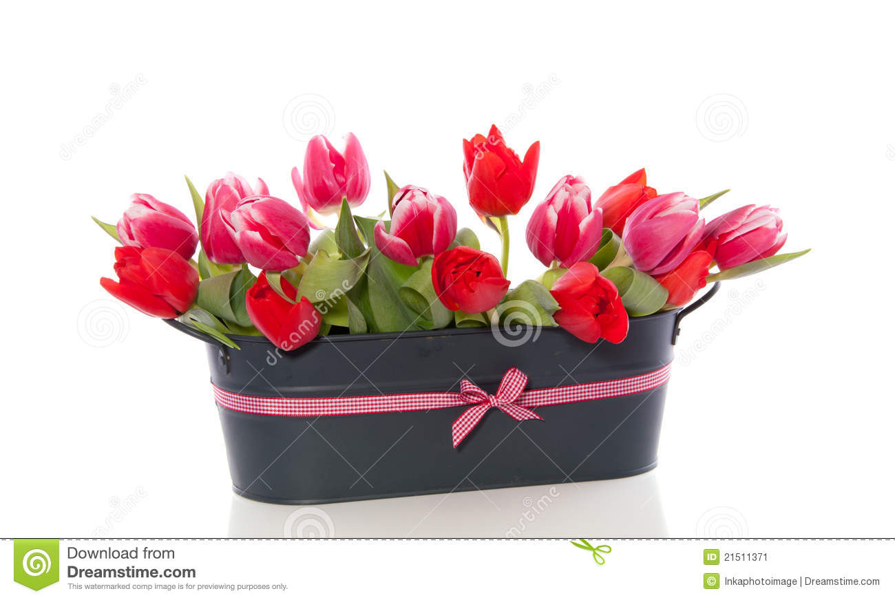 red and dark pink tulip flowers stock image  image, Beautiful flower