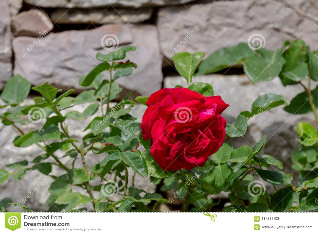 Red beautiful rose blossoms near a stone wall stock image image red beautiful rose blossoms near a stone wall izmirmasajfo