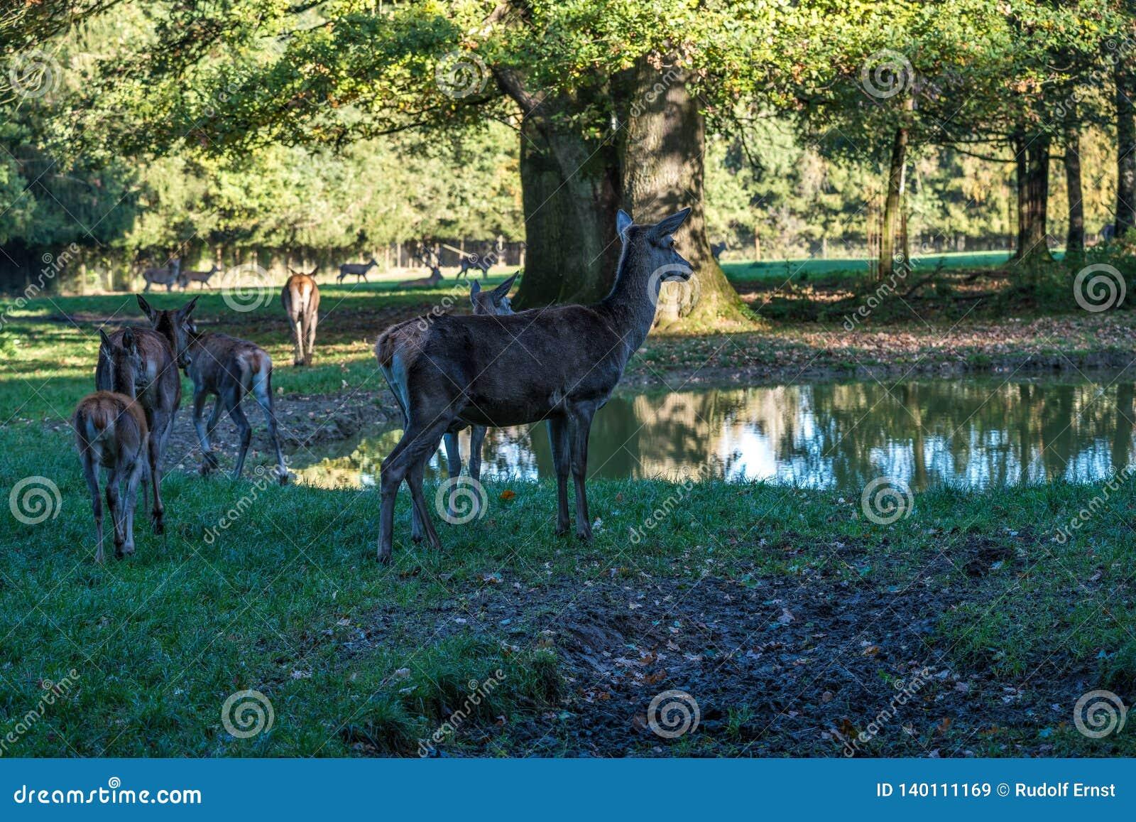 Red deer, Cervus elaphus in a german nature park
