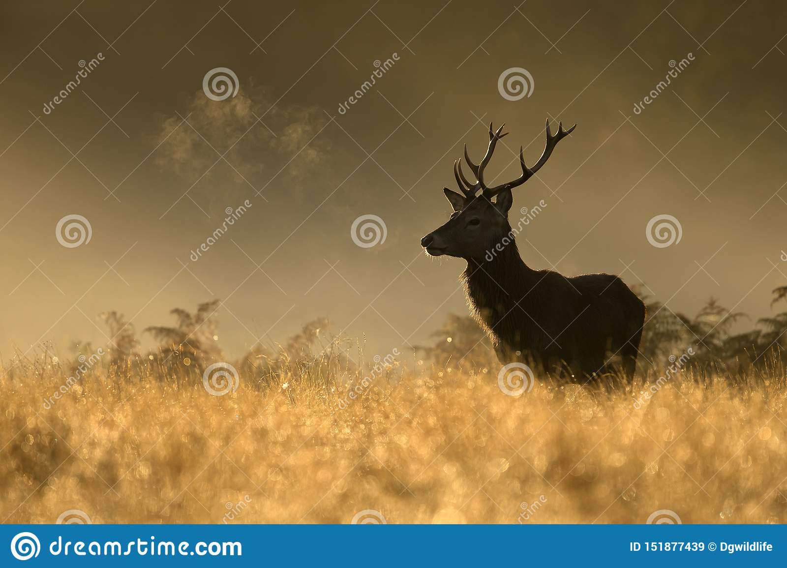 Red Deer stag during rutting season at dawn