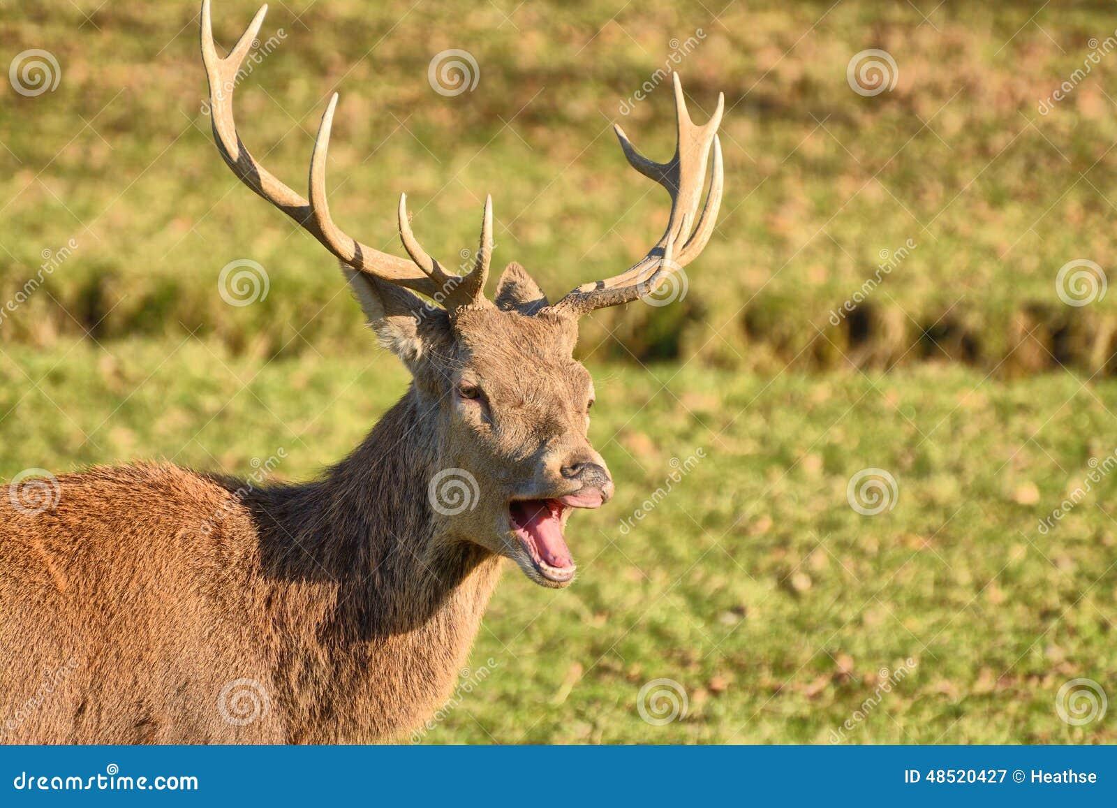 Red deer laughing/yawning stock image. Image of laugh ... - photo#36