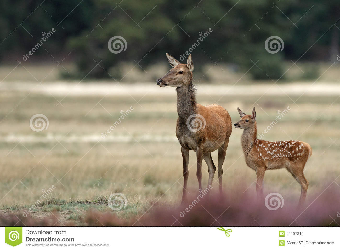Red deer mother and calf