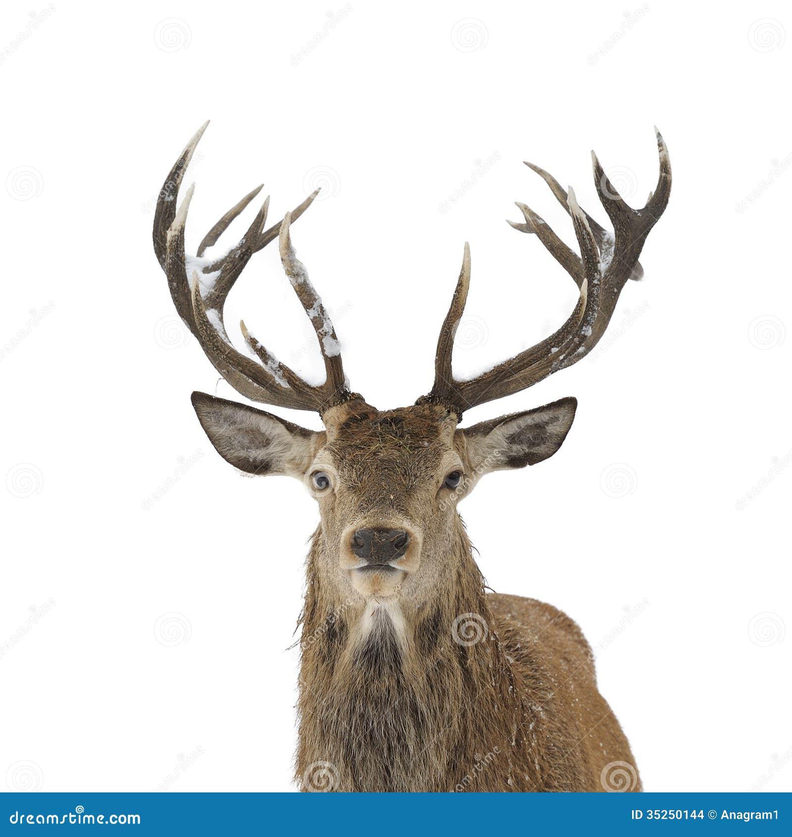 red deer portrait stock photo image of outdoors. Black Bedroom Furniture Sets. Home Design Ideas