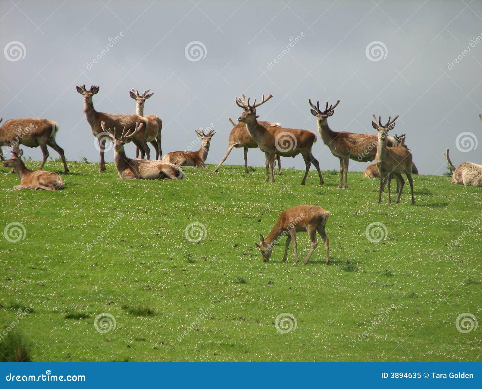 Red Deer Scottish Highlands