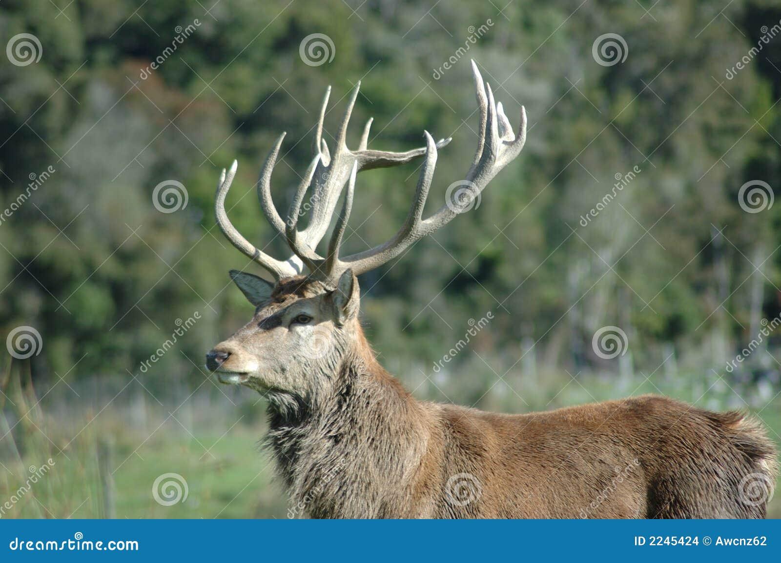 red deer stag stock images image 2245424. Black Bedroom Furniture Sets. Home Design Ideas