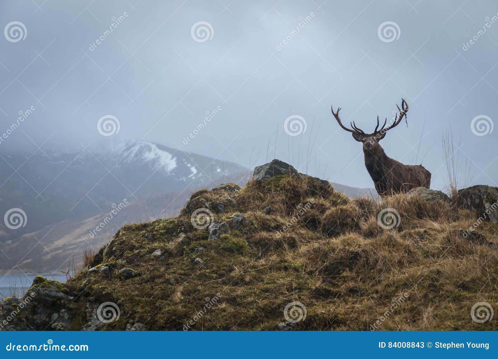 Red Deer Stag and antler dressing, Lochaber, Scotland