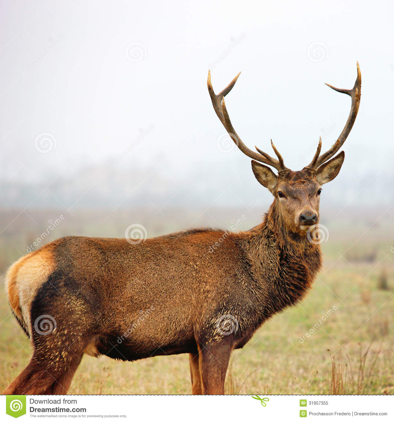 Landscaping Ties Red Deer : Red deer stag in autumn fall misty landscape stock photography cartoondealer