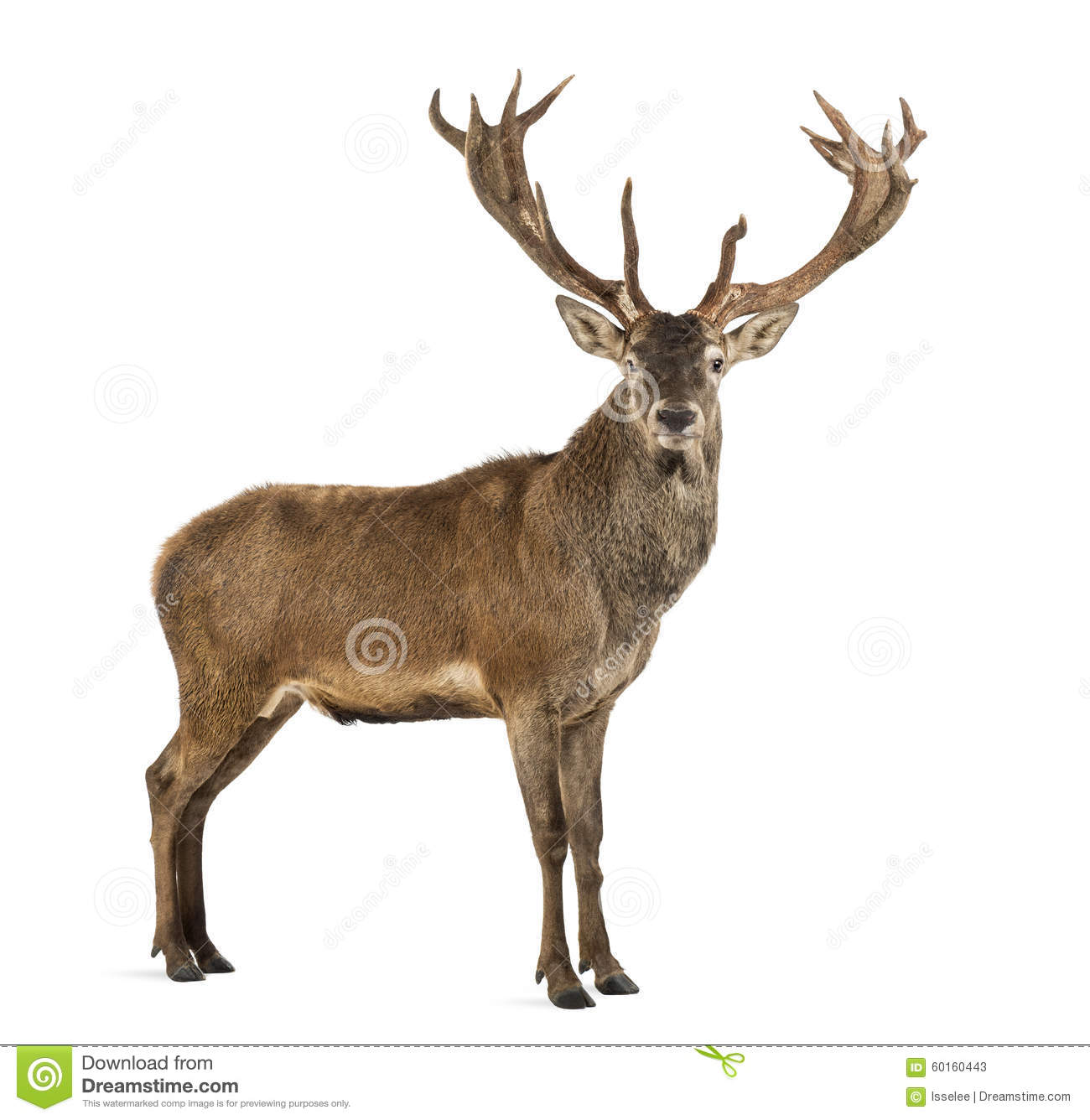 Red deer stag in front of a white background.