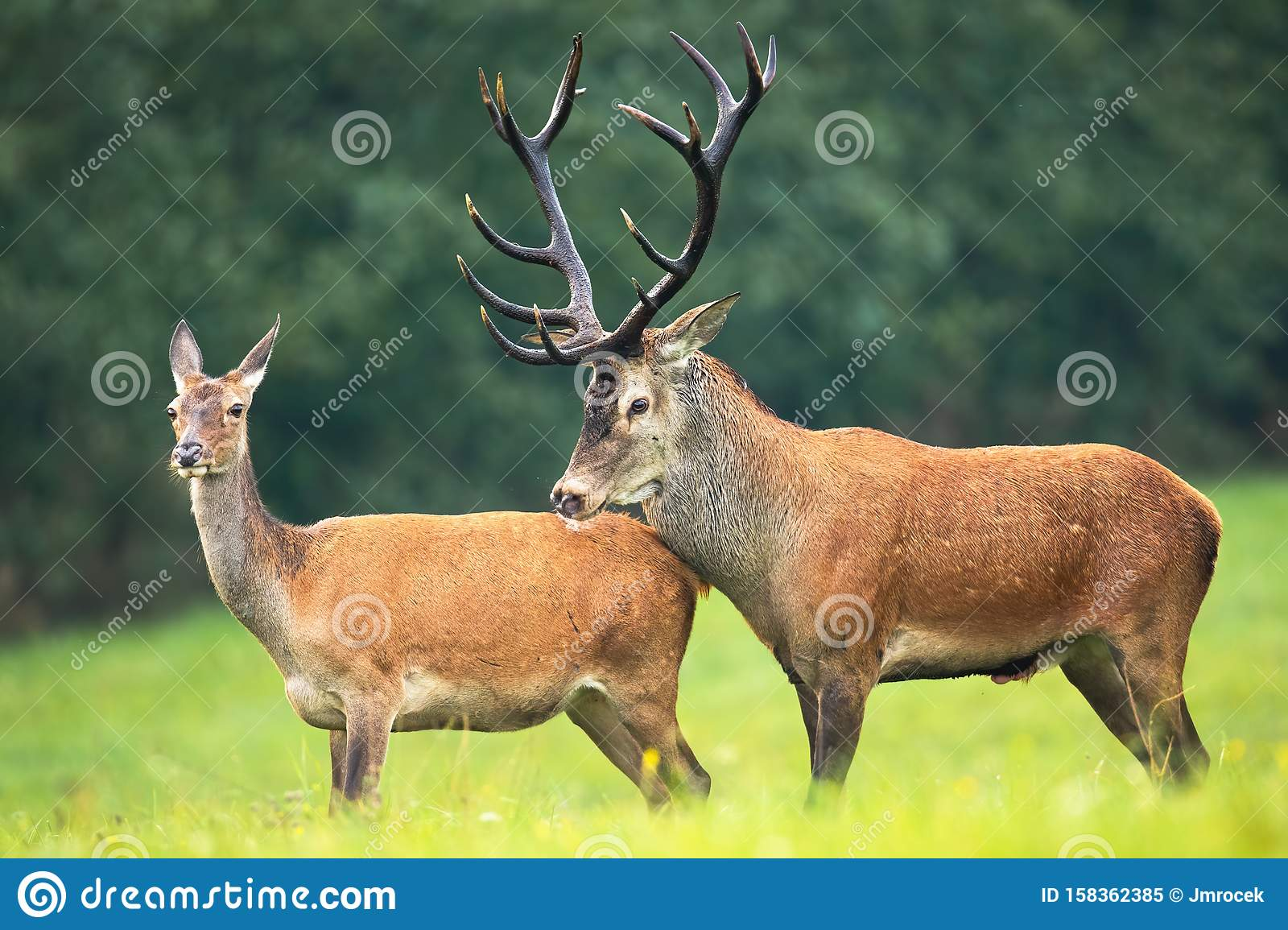Red Deer Stag And Hind Standing Close Together On A Meadow In Rutting Season Stock Image Image Of Nature Pair 158362385