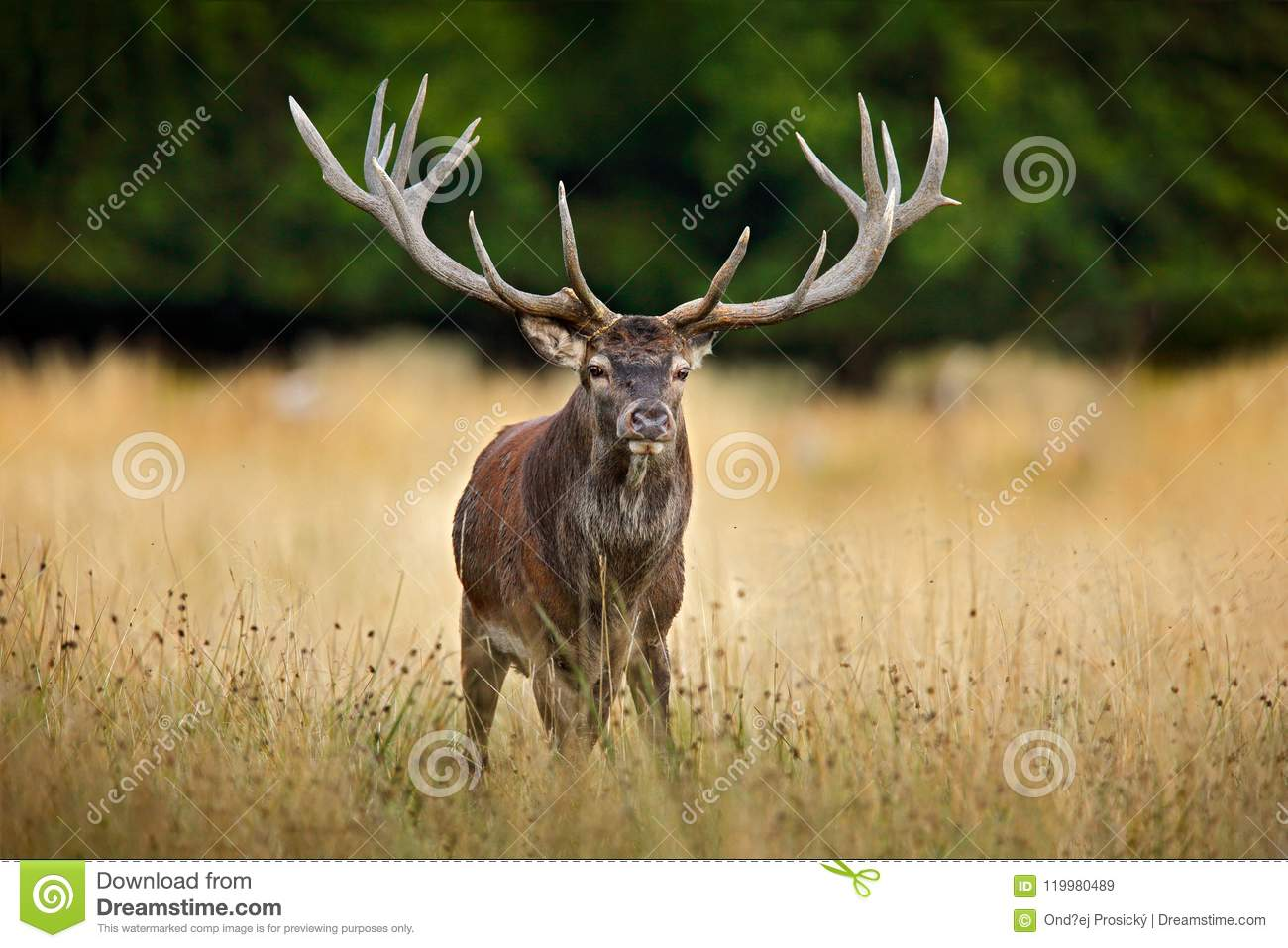 Red deer stag, majestic powerful adult animal outside autumn forest. Big animal in the nature forest habitat, Denmark. Wildlife sc