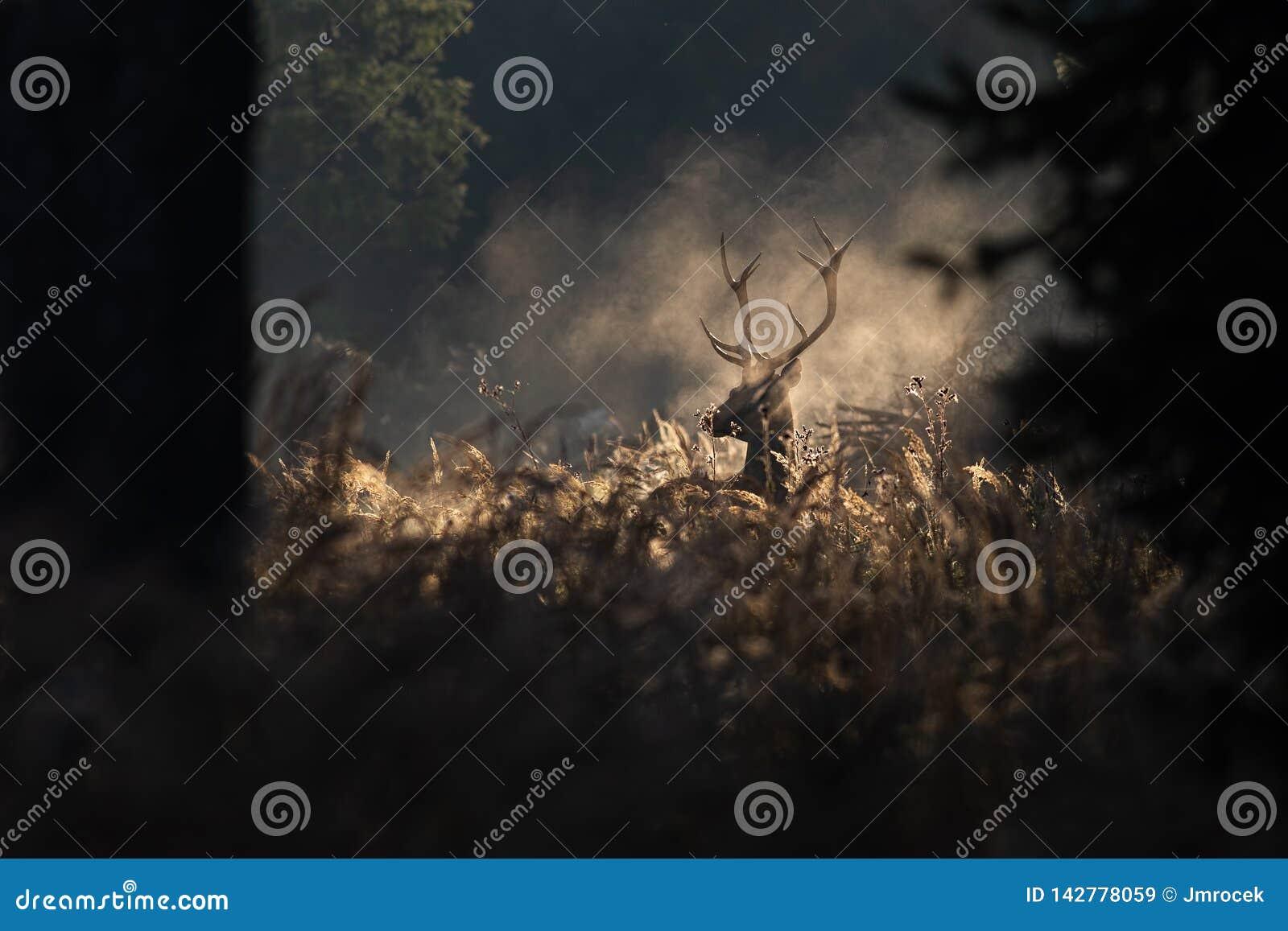 Red deer stag in mornig autumn mist