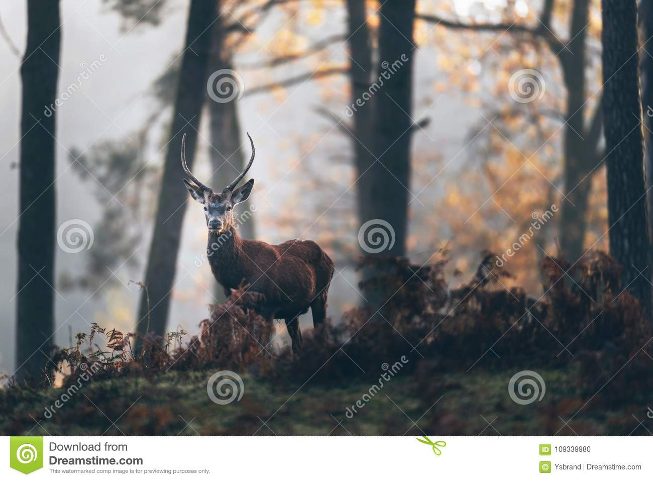 Red deer stag with pointed antlers between ferns of misty autumn