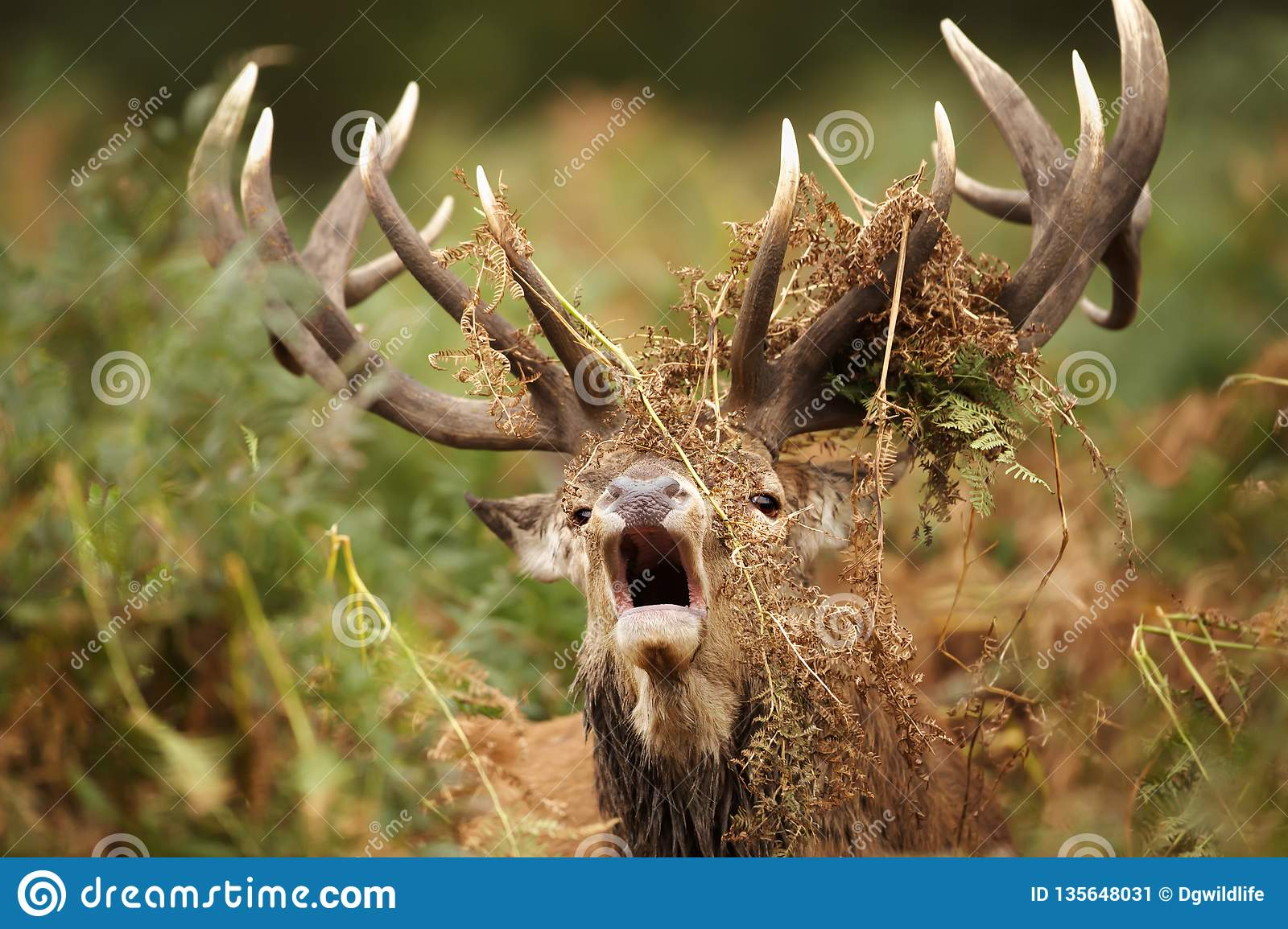 Red deer stag roaring with ferns draped around its antlers
