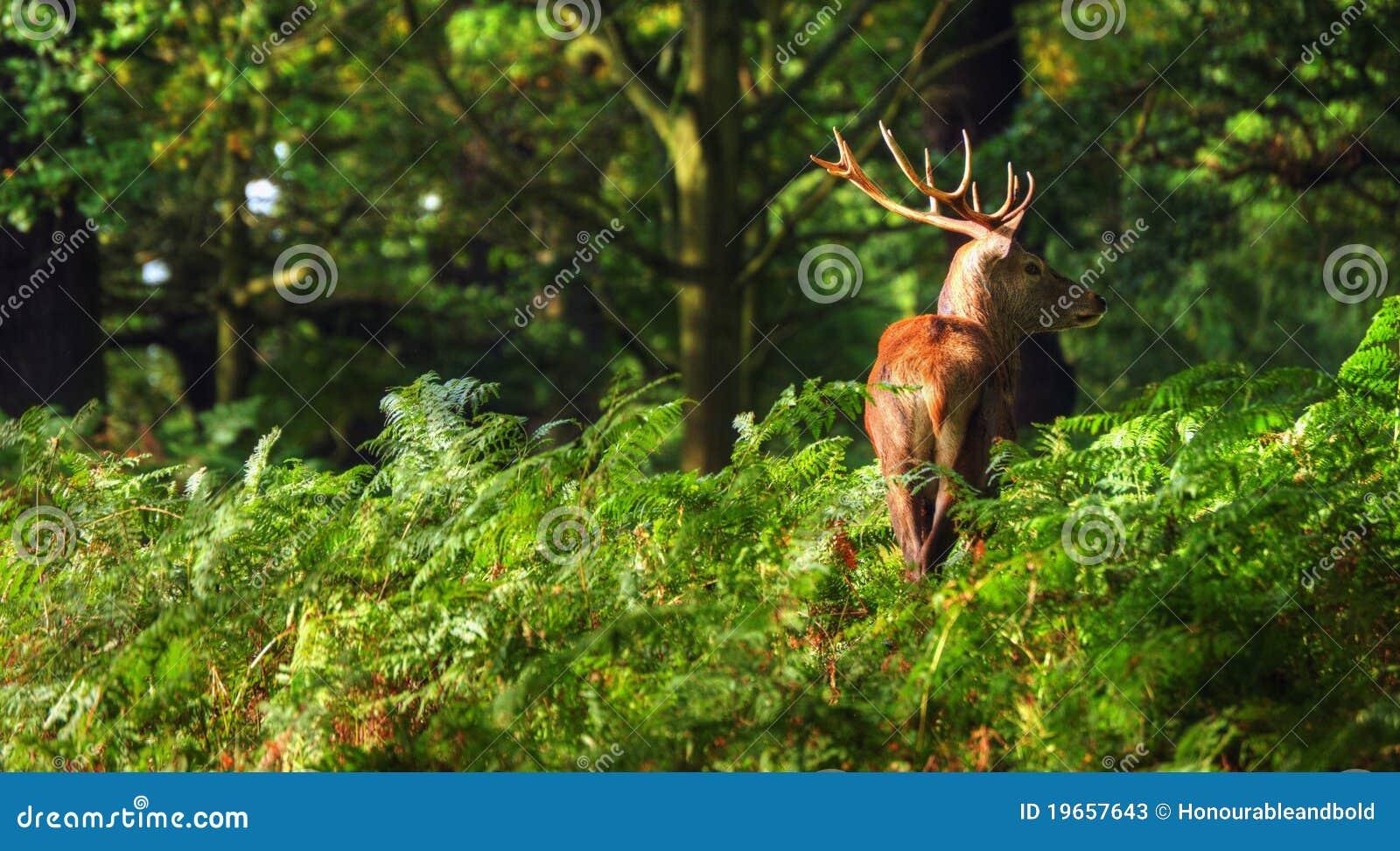 Landscaping Ties Red Deer : Red deer stag during rut season stock photos image