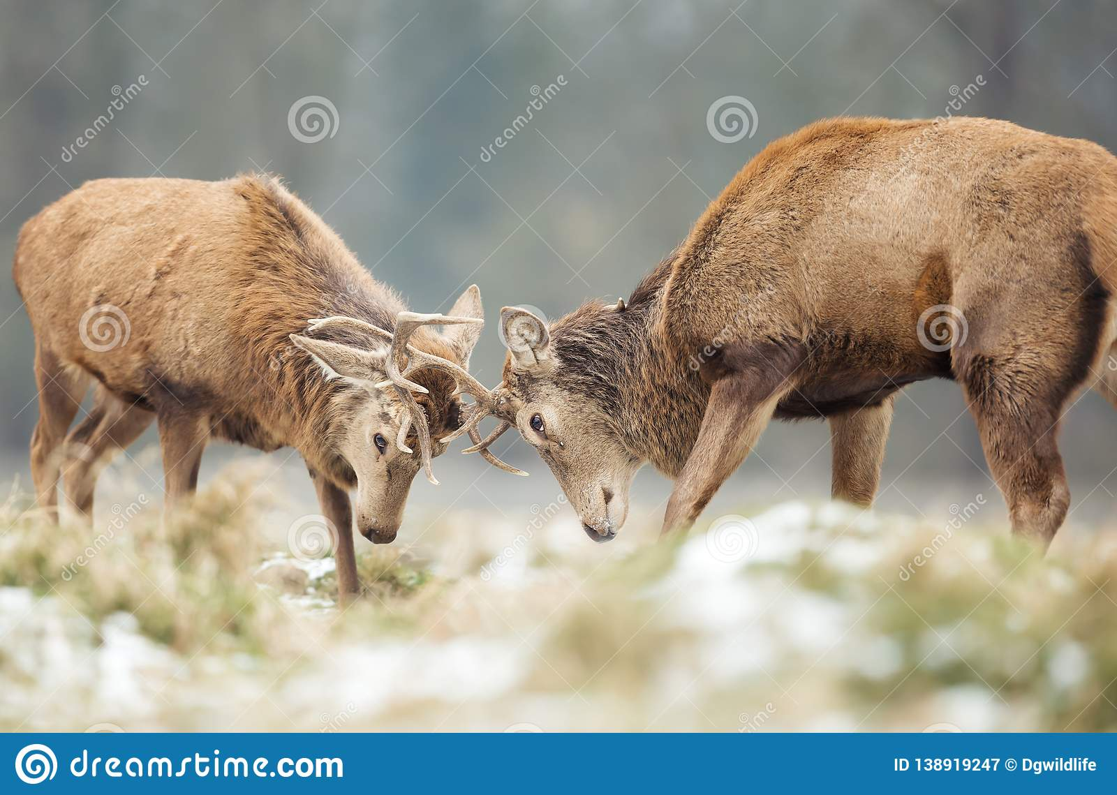 Red deer stags fighting in winter