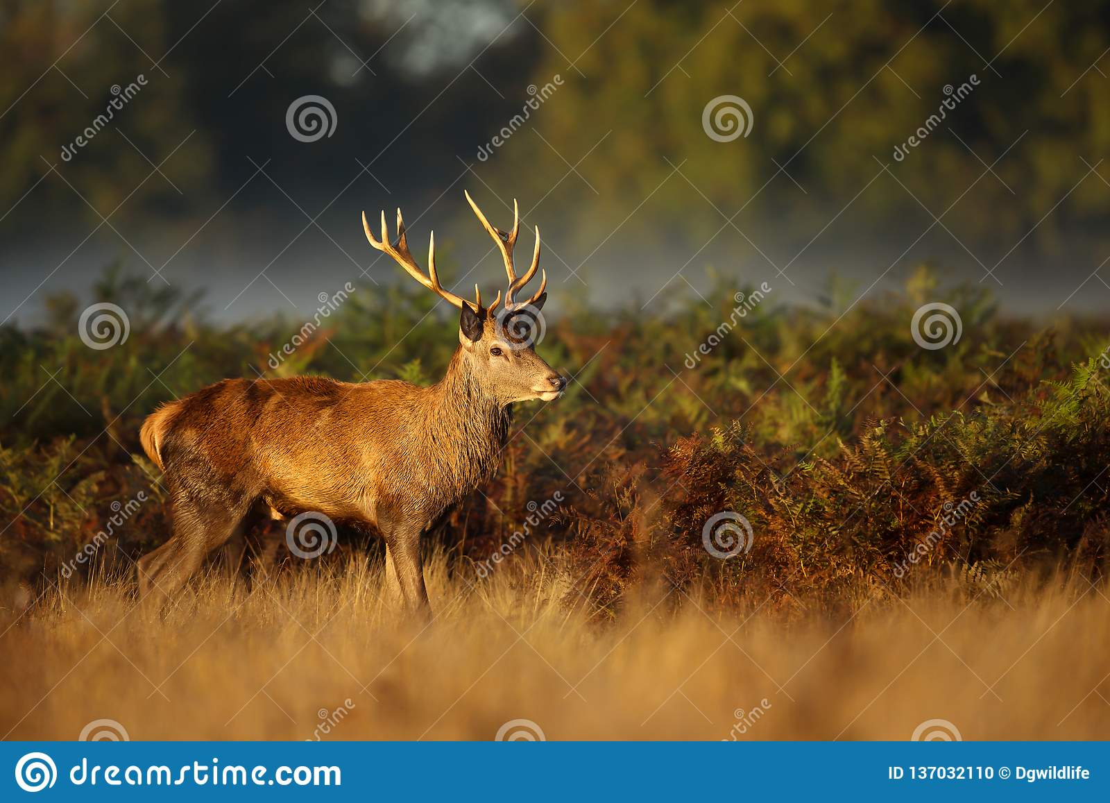 Red Deer standing in the ferns on an early misty morning