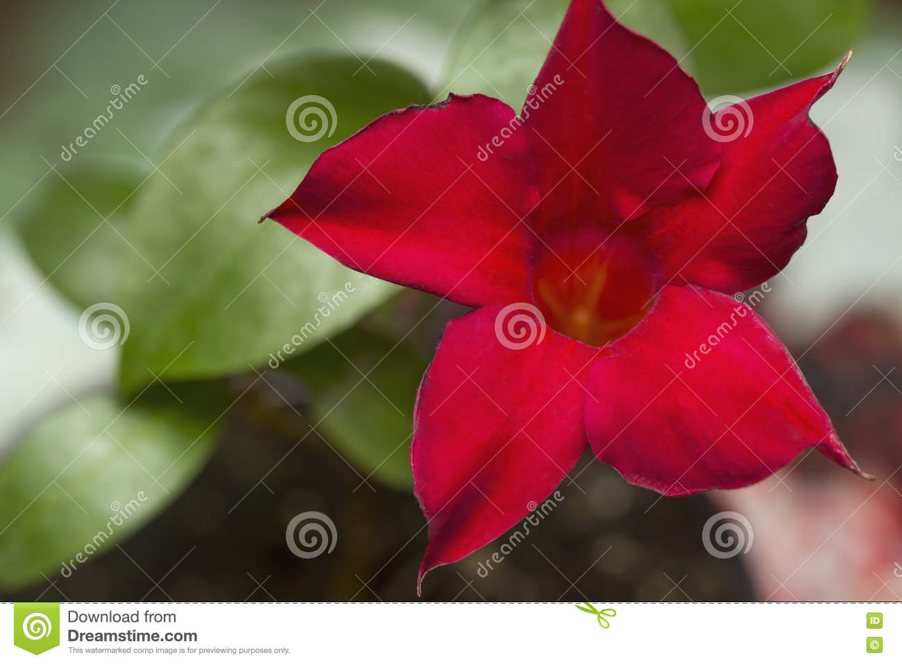 Red Dipladenia Flower stock photo. Image of color, background - 72788426