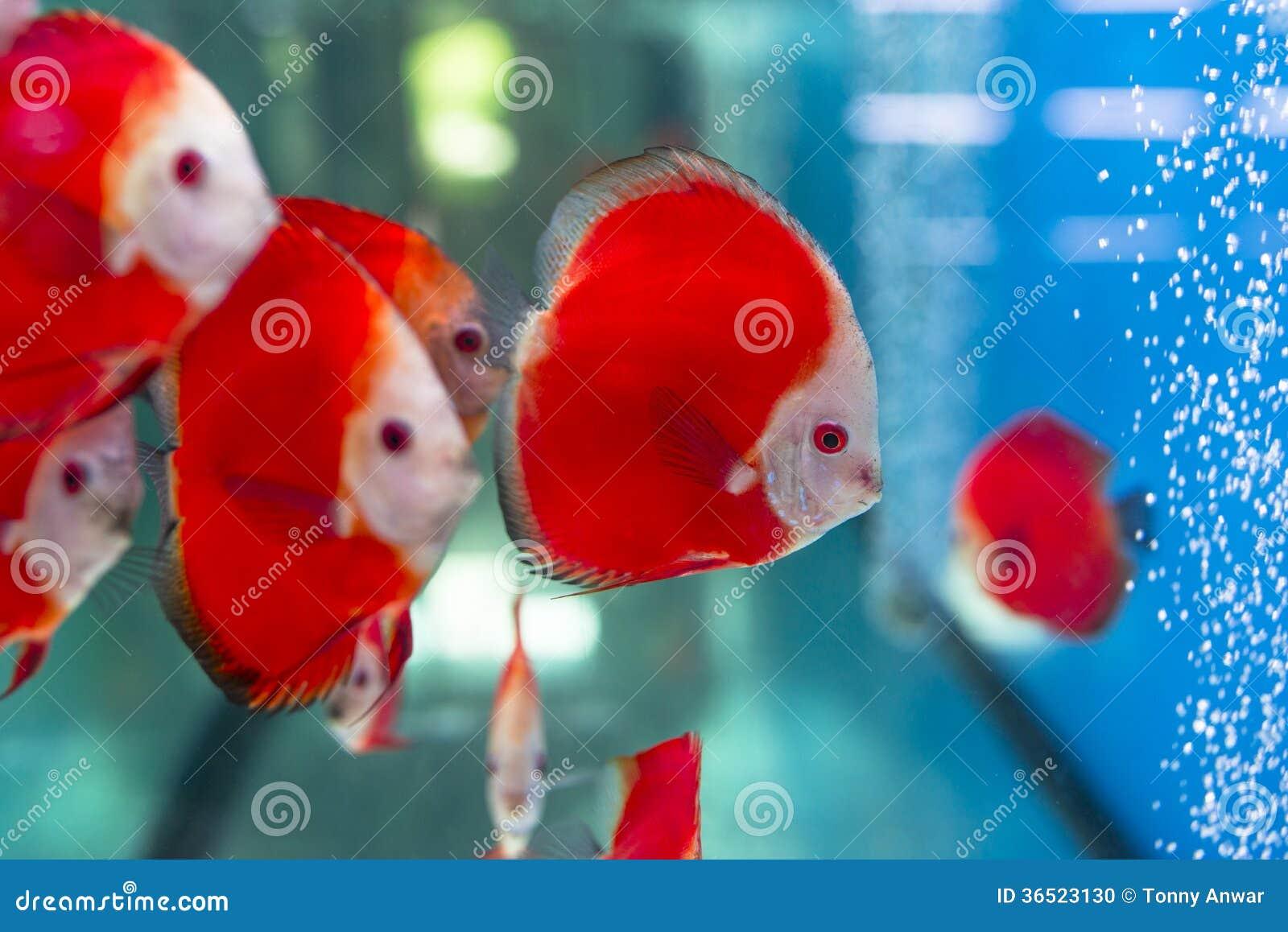 Red Discus Fish stock photo. Image of aquarium, colorful - 36523130