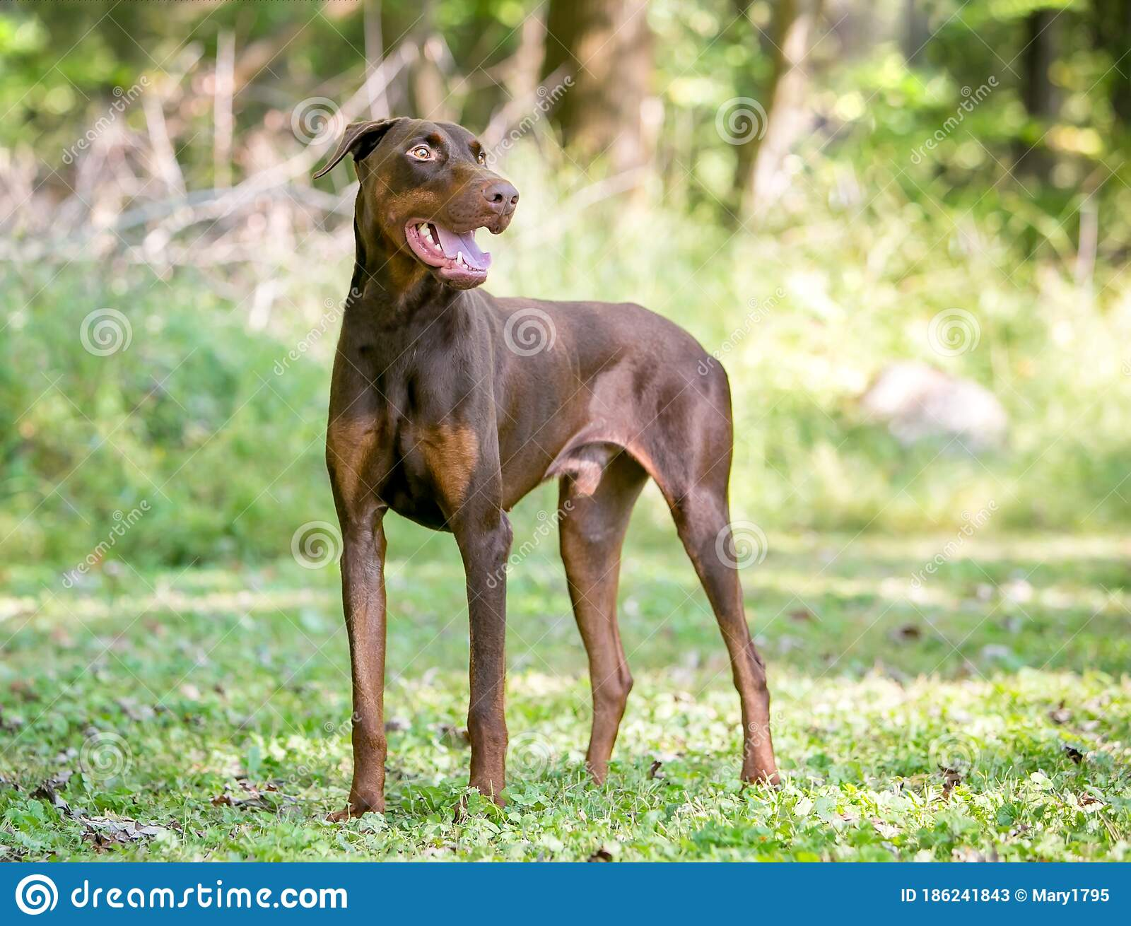 A Red Doberman Pinscher Dog With Natural Uncropped Ears Stock Image Image Of Pets Animals 186241843