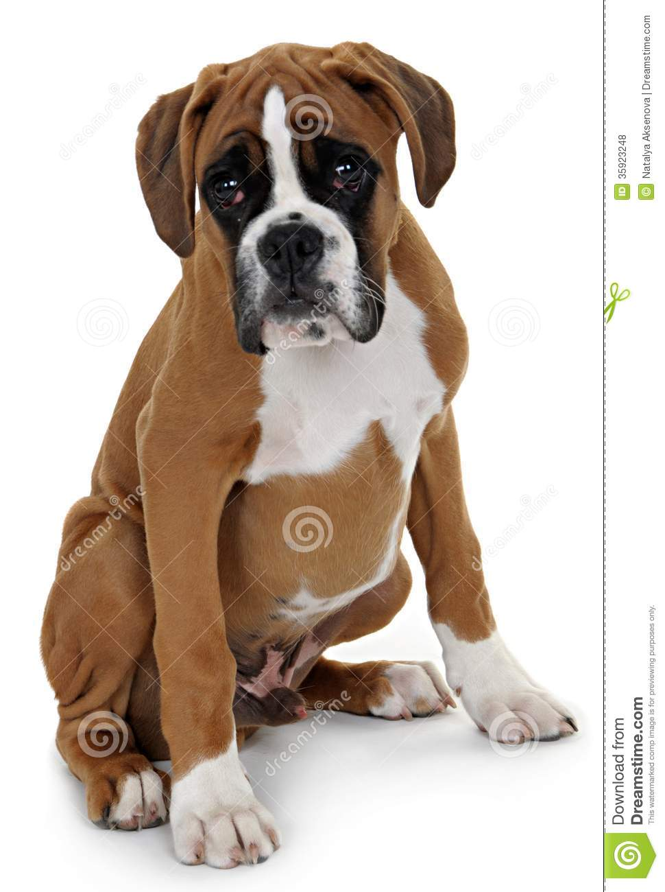 Red Dog Breed Boxer On A White Background. Royalty Free ...