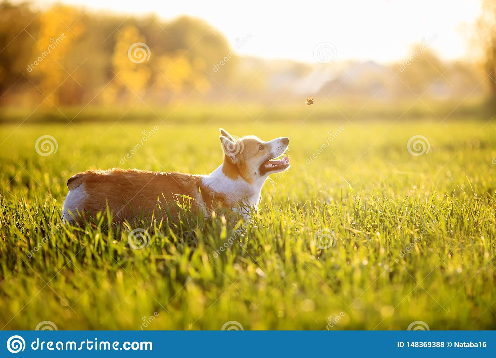 dog puppy Corgi fun running on a green meadow and jumping over a flying butterfly in a summer meadow in the grass