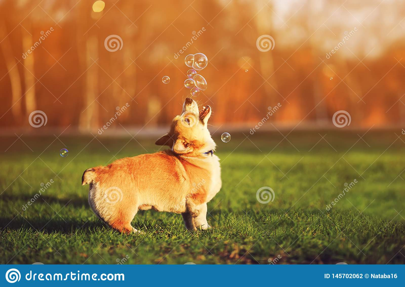 red dog puppy Corgi walking on green young grass on spring Sunny meadow and catching shiny soap bubbles