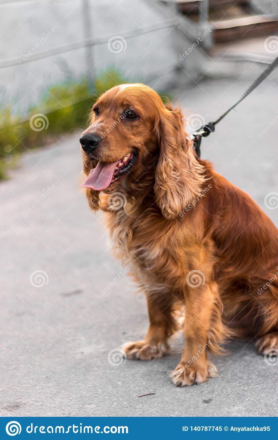 A red dog on the street sits in profile, a serious dog muzzle, focused it is a watchdog