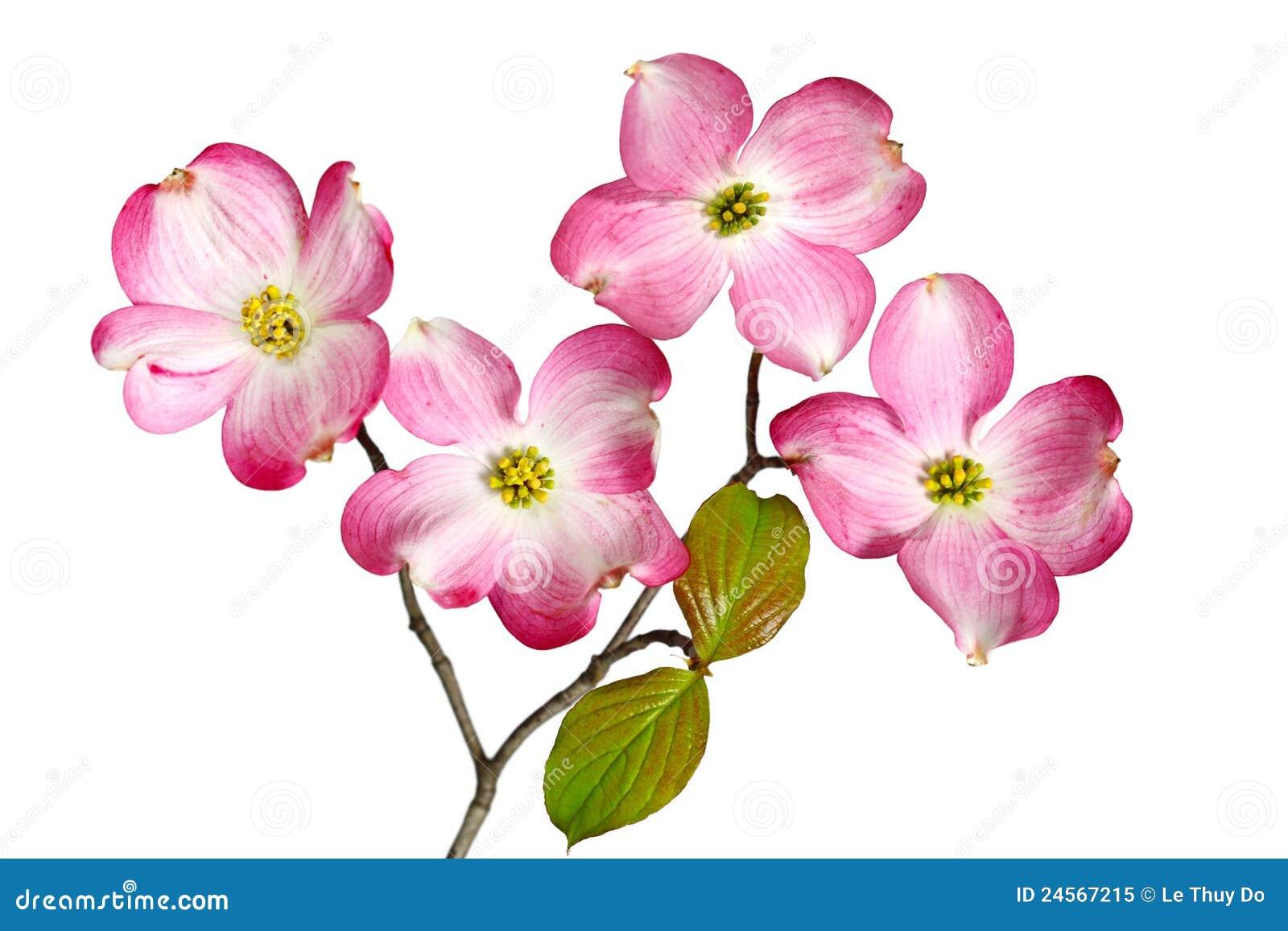 Red Dogwood Blossom Stock Image Image Of Dogwood Garden 24567215