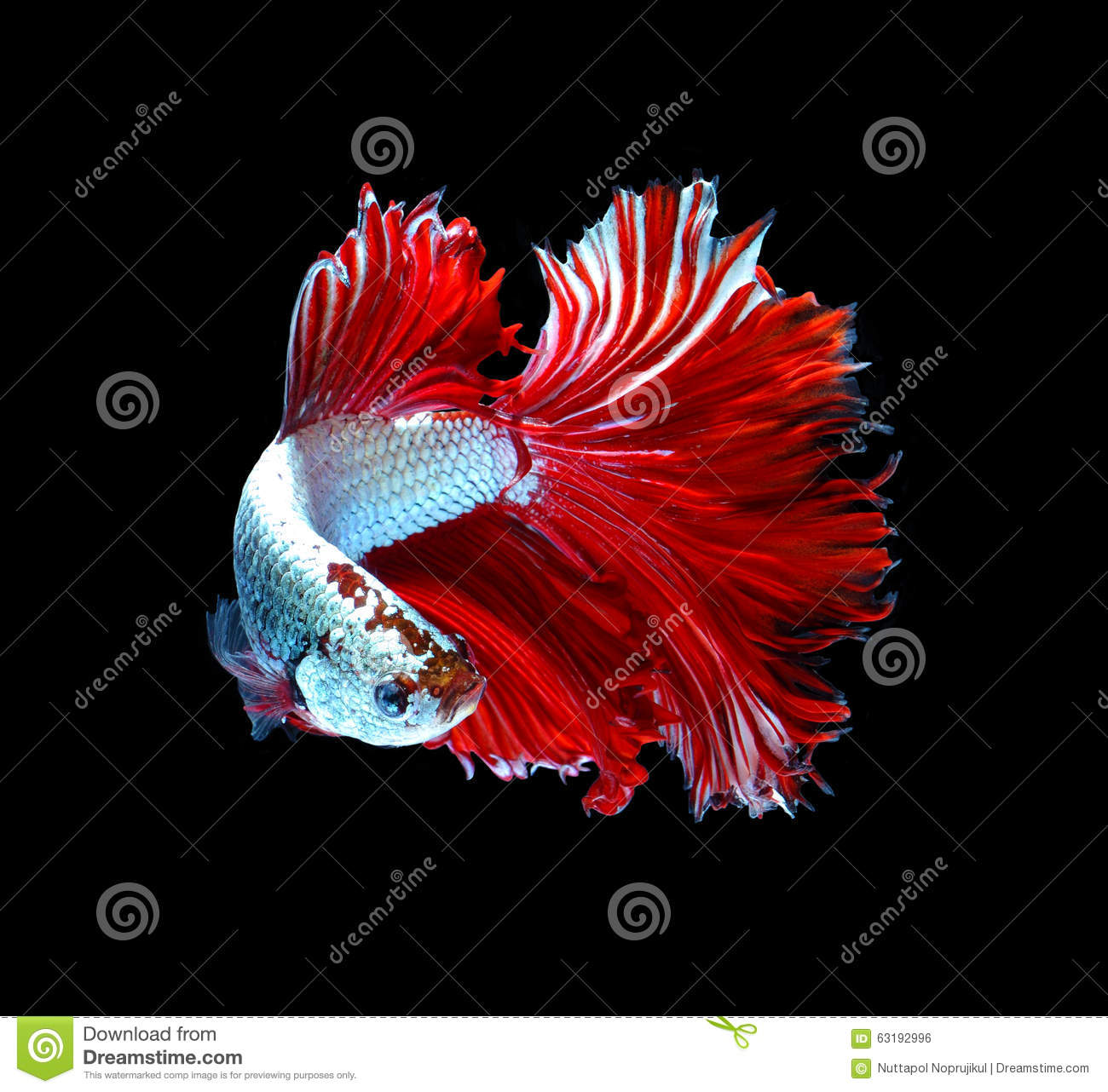 Red Dragon Siamese Fighting Fish, Betta Fish Isolated On Black B ...