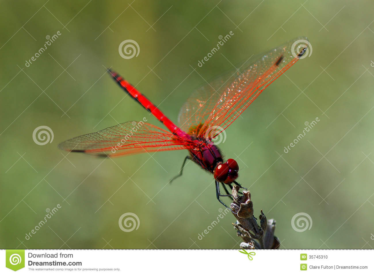 Red dragonfly Odonata wings spread