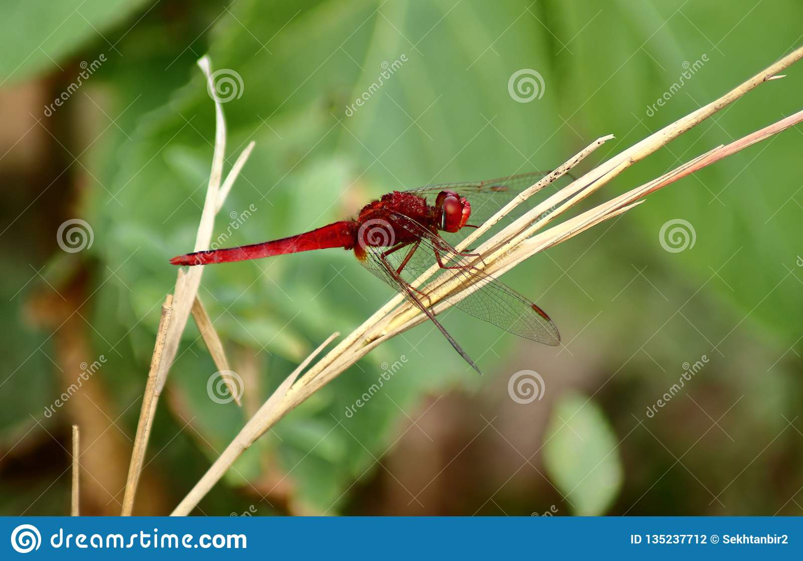 The Red Dragonfly is sitting on the dry grass