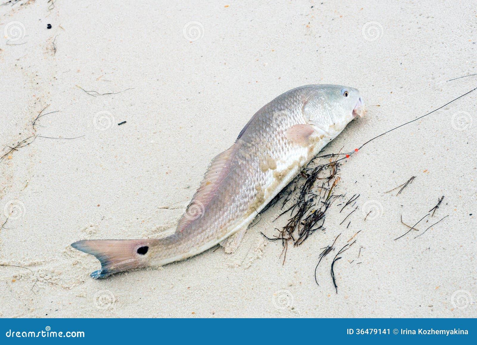 Redfish Red Drum Fish Vector Stock Vector Illustration Of