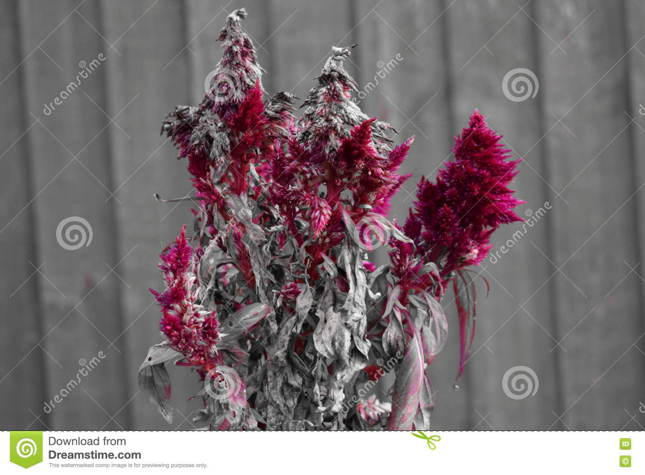 Red drying flower with wooden fence in background