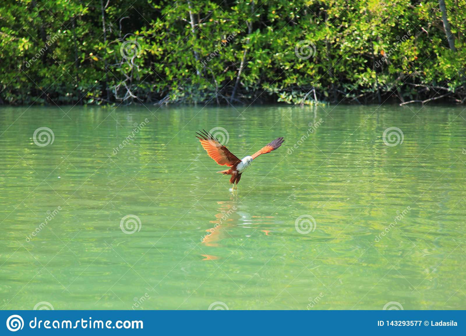 Eagle with white head flies over a green river against background of green trees.