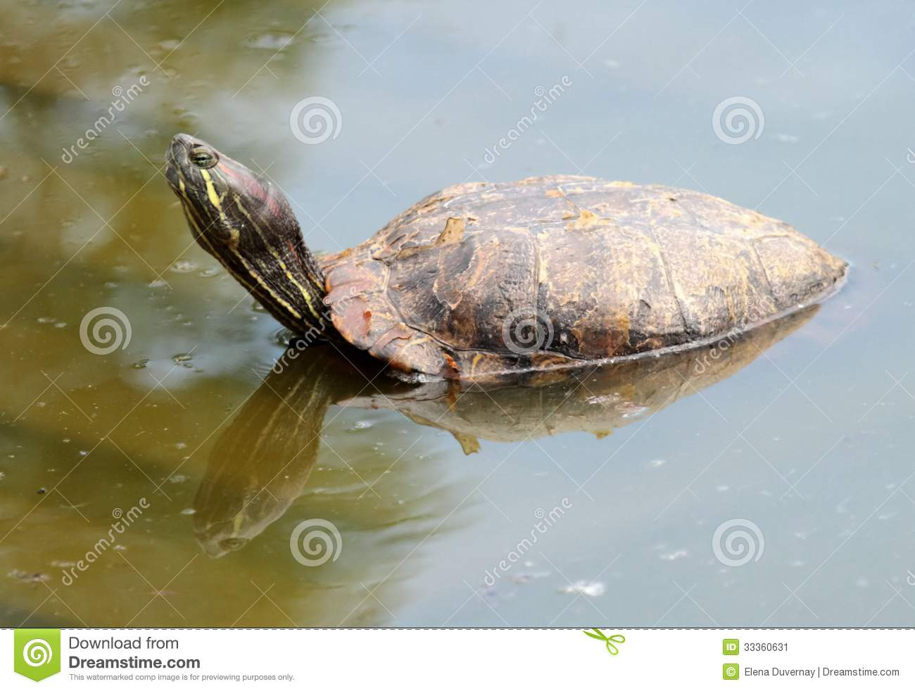Red-eared slider turtle (trachemys scripta elegans) out of water and ...