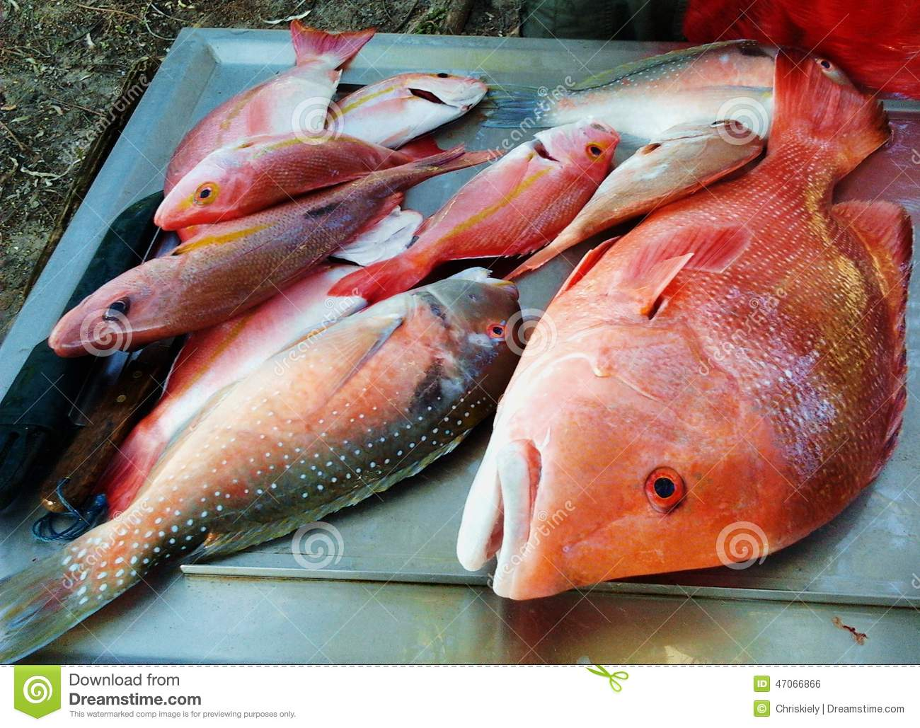 Red emperor fish and parrot fish australia stock photo for Red parrot fish