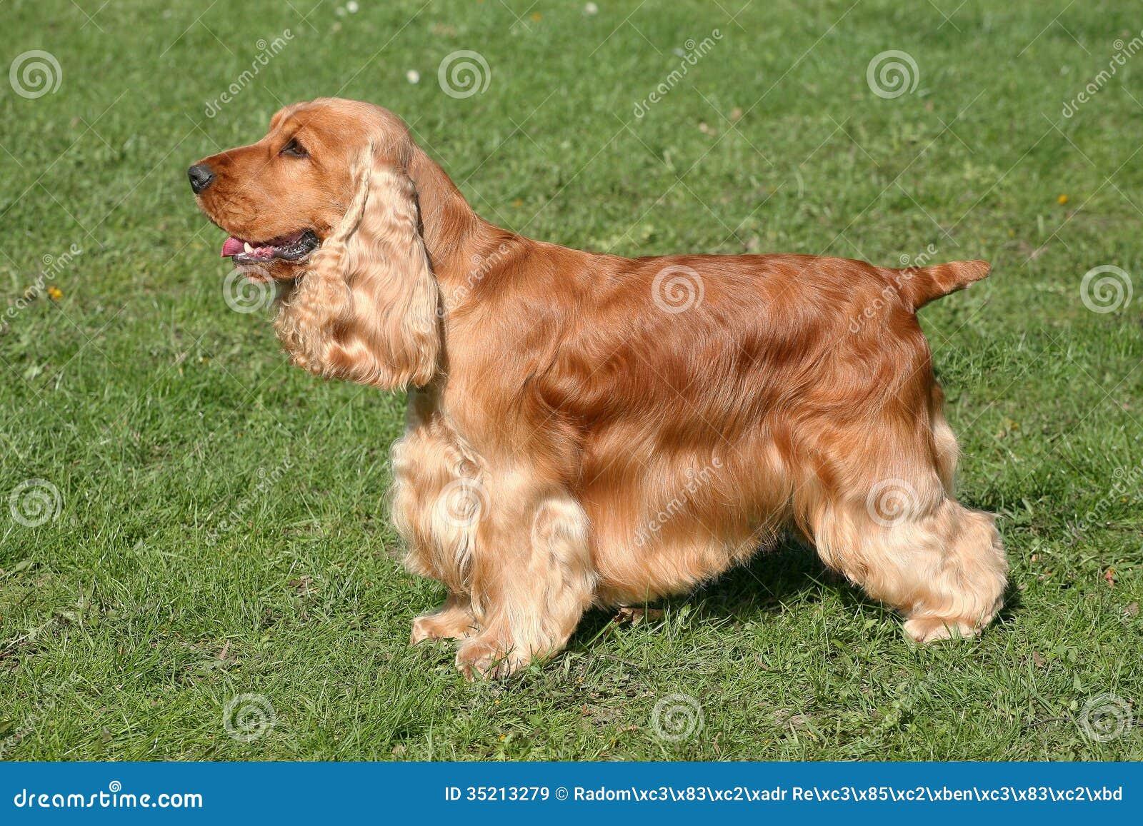 engelse labrador