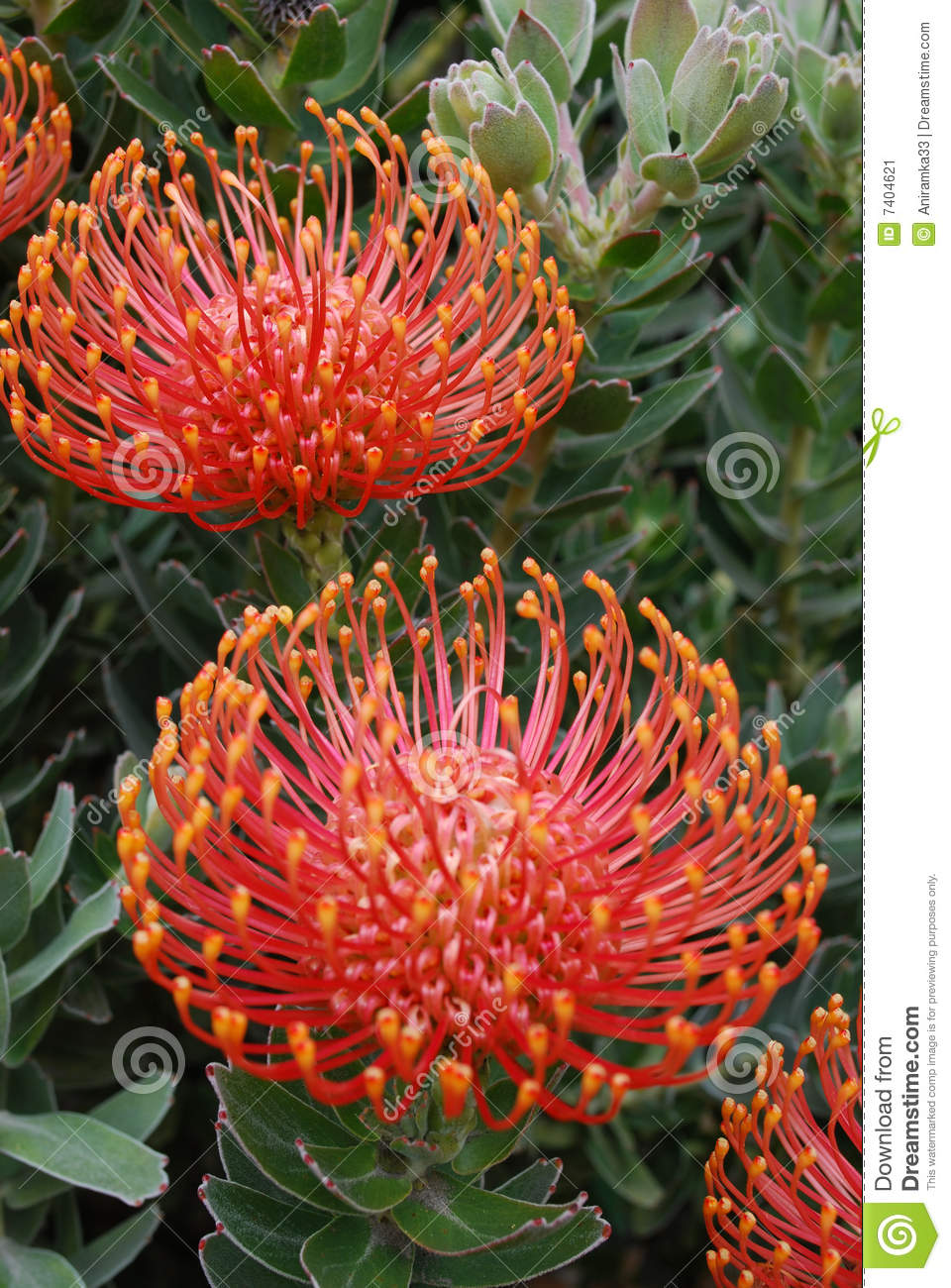 red exotic flowers pictures  pivot media, Natural flower