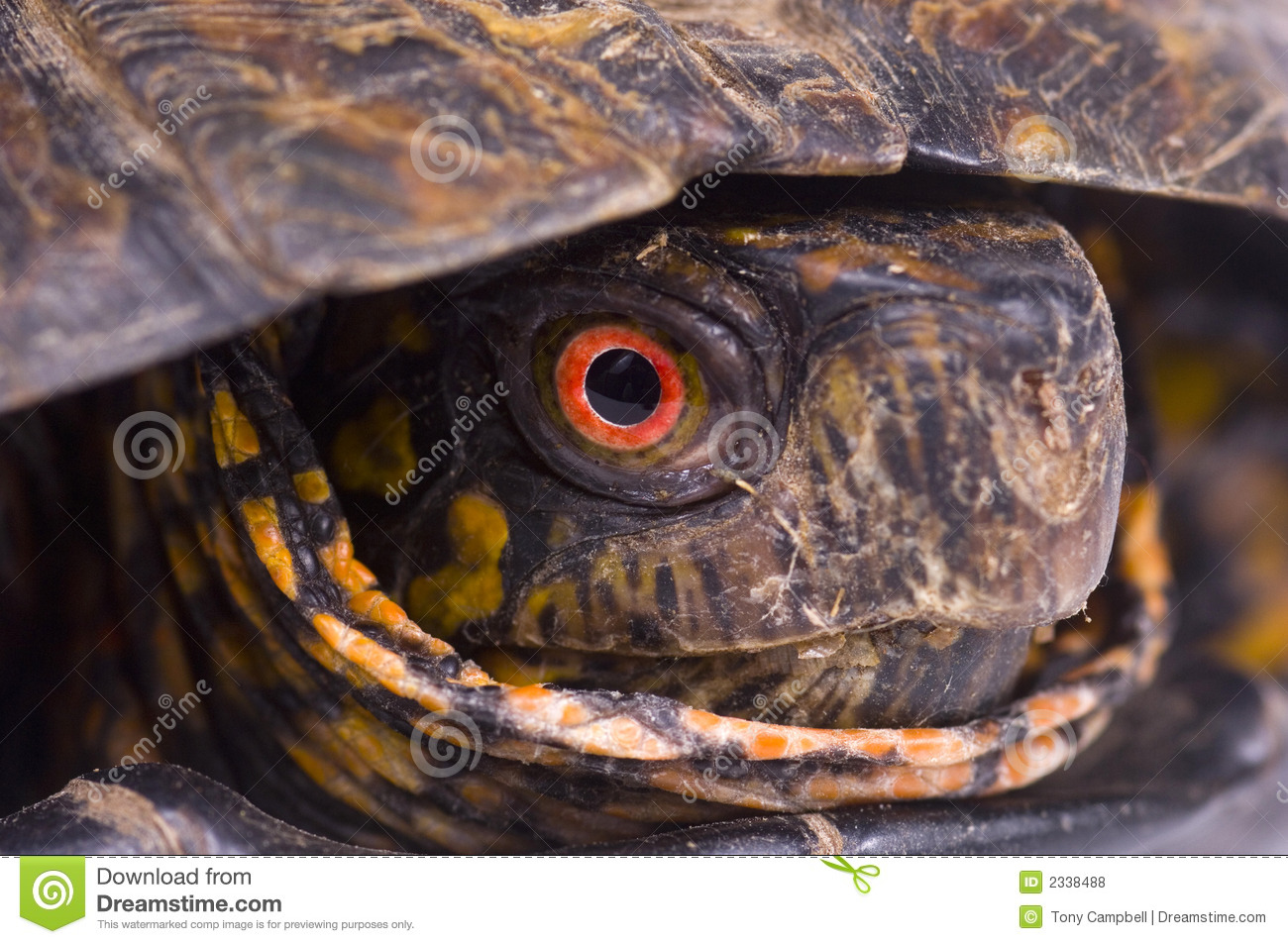 Red eye of painted box turtle