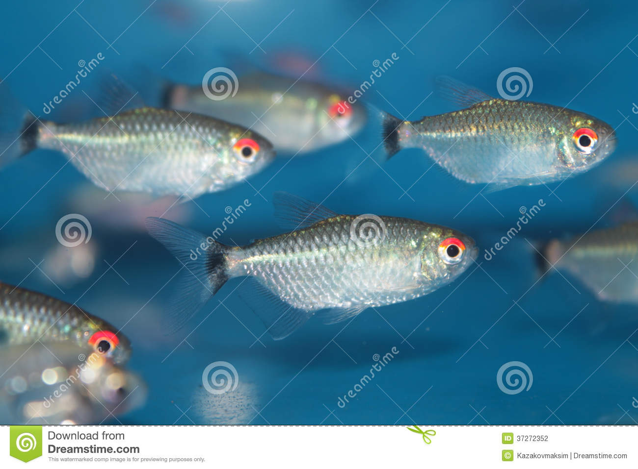 Red Eye Tetra (Moenkhausia Sanctaefilomenae) Aquarium Fish Stock ...