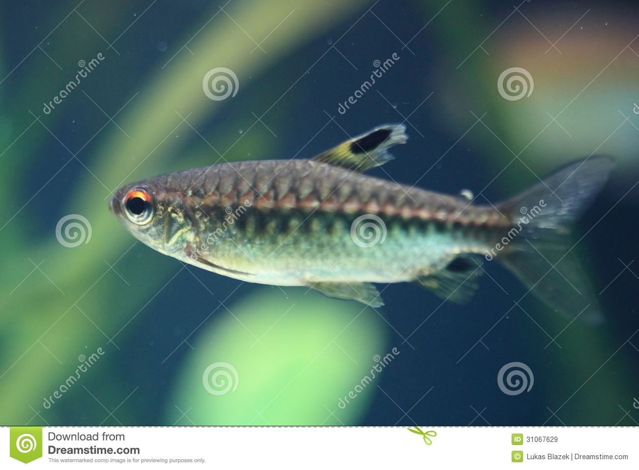 Red Eye Tetra Royalty Free Stock Images - Image: 31067629