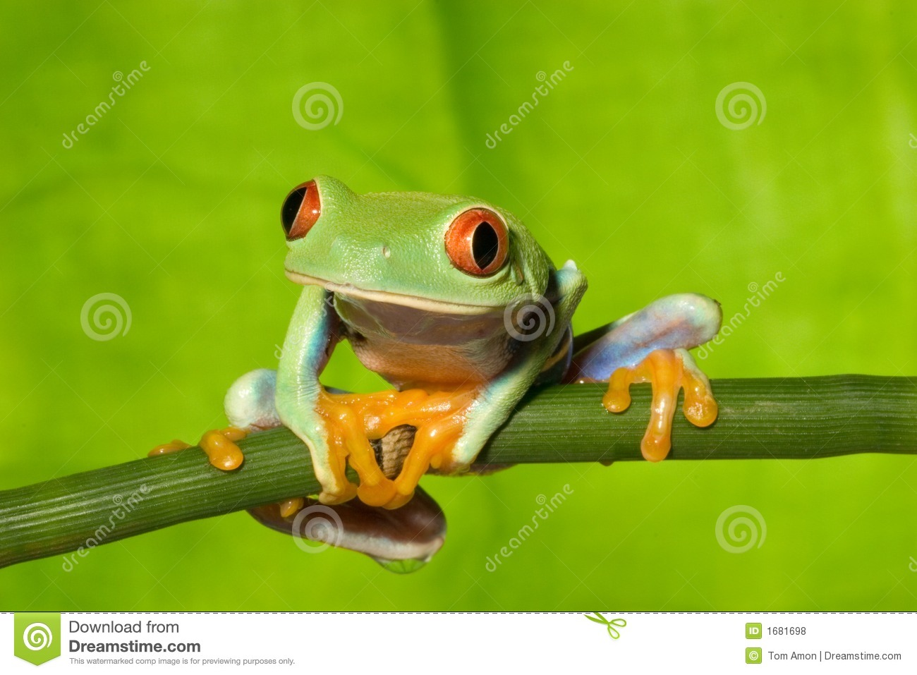 red eye tree frog on branch 2 royalty free stock photos image