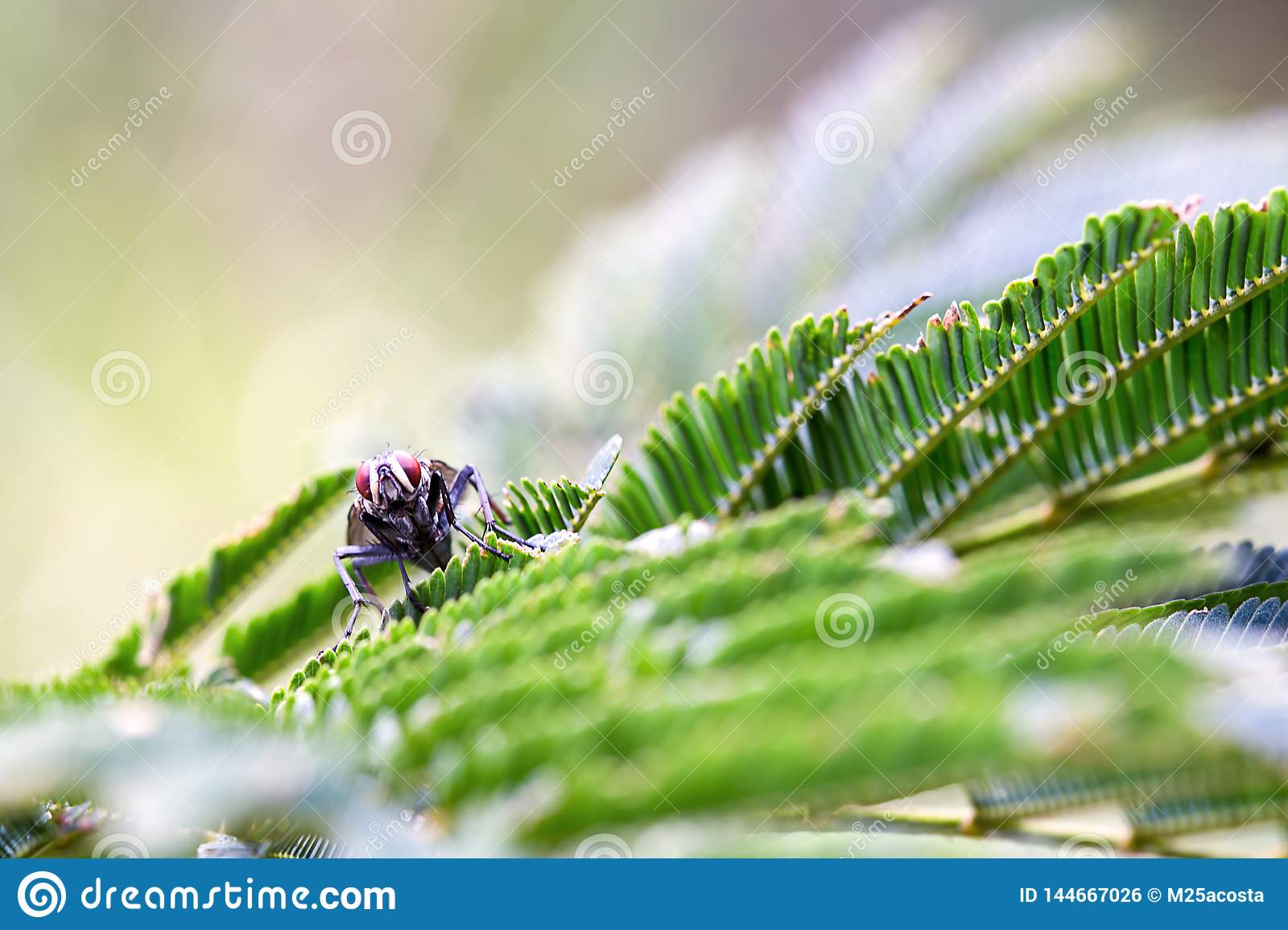 Red eyed fly resting over leaves of a mimosa