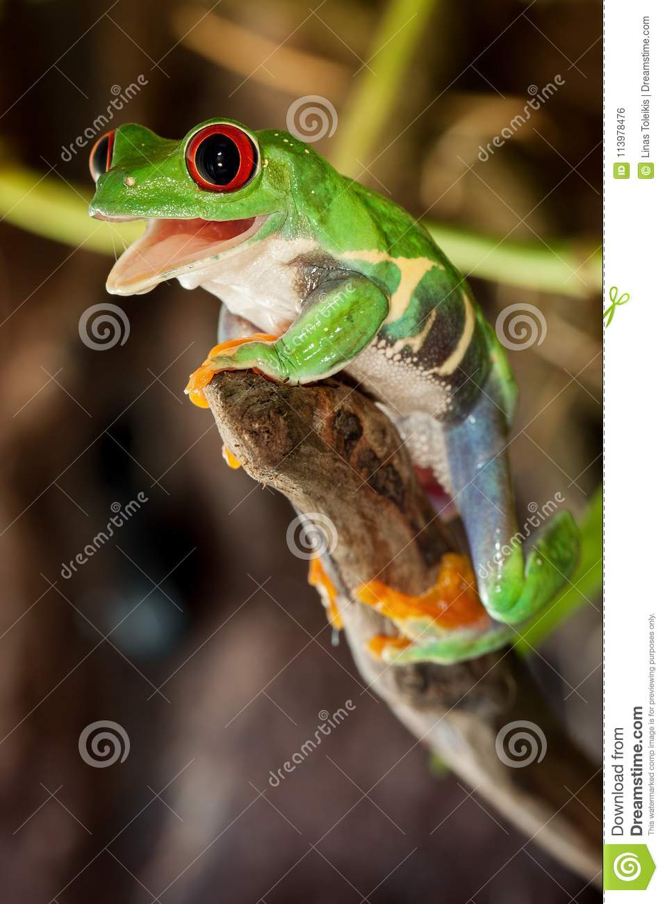 Red-eyed frog on the branch