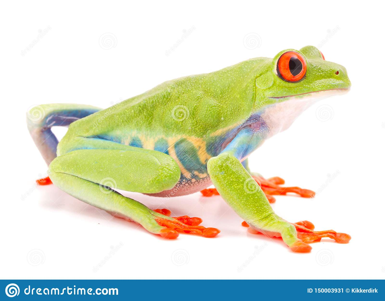 Red eyed monkey tree frog, Agalychnis callydrias