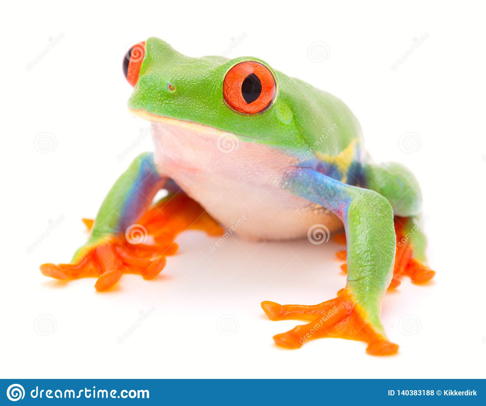 Red eyed monkey tree frog, a tropical animal from the rain forest in Costa Rica
